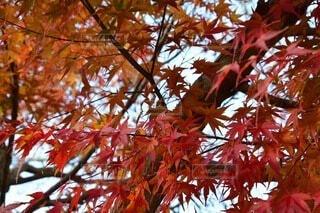 自然,空,秋,木,屋外,赤,葉,樹木,落葉,草木