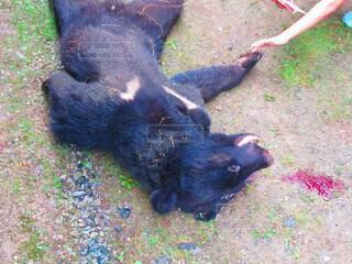 動物,屋外,山,草,地面,くま,熊,クマ,駆除,猟