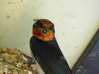 ハエを捕食する燕の写真・画像素材[4207071]