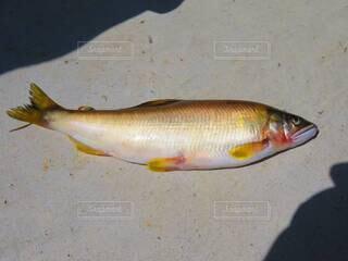 魚,魚介類,鮎,川魚,天然,アユ,天然鮎,尺鮎