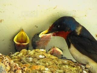 雛に餌をやる親鳥の写真・画像素材[4207124]