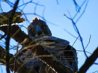動物,鳥,野鳥,睨む,猛禽類,オオタカ,大鷹,若鳥,幼鳥