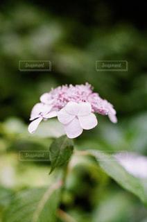 紫陽花の雫の写真・画像素材[2136731]