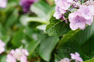 紫陽花の雫の写真・画像素材[2136743]
