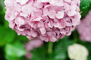 紫陽花の雫の写真・画像素材[2136750]