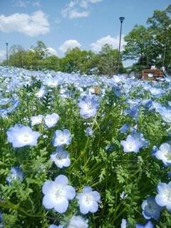 ネモフィラ畑と青い空の写真・画像素材[4212982]