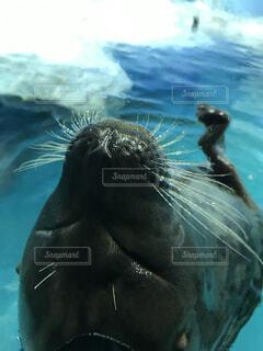動物,水族館,水面,泳ぐ,アシカ,海獣