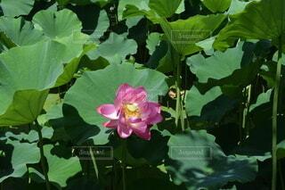 ハスの花 ピンクの写真・画像素材[4205097]