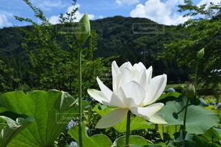 ハスの花と豊かな自然の写真・画像素材[4205099]