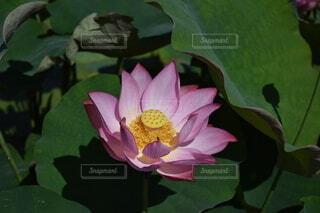 美しいハスの花 ピンクの写真・画像素材[4205108]