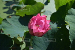 ハスの花 ピンクの写真・画像素材[4205107]