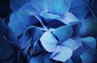 紫陽花の写真・画像素材[4242847]