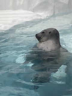 動物,屋外,水面,アシカ,アザラシ,海獣,シール,北極熊,ゼニガタアザラシ