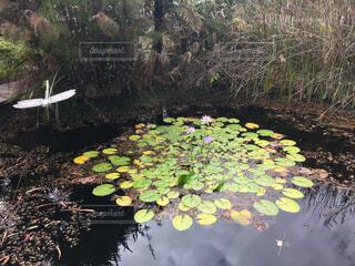 自然,花,池,蓮,トンボ