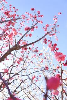 空,花,屋外,赤,梅,枝,樹木,梅の木,梅の花,草木,紅梅,ブロッサム