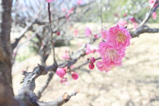 花,春,屋外,梅,枝,樹木,梅の木,梅の花,草木,ブルーム,ブロッサム