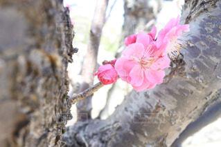 花,春,屋外,梅,枝,樹木,梅の木,梅の花,ブロッサム