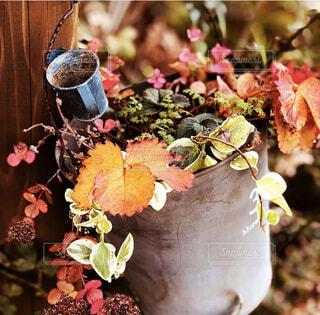 ブリキのバケツにハンギング寄せ植え。ミセバヤ、苺、ツルニチニチソウの紅葉が綺麗。の写真・画像素材[4389232]