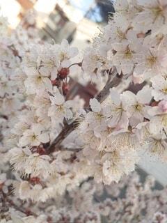 花,さくらんぼの花