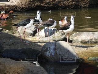 風景,動物,鳥,屋外,湖,水面,鴨,群れ,ガチョウ,水鳥