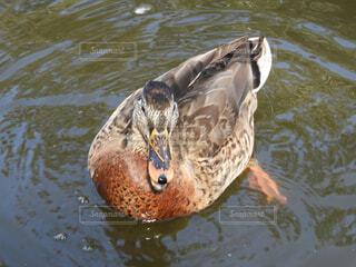 動物,鳥,屋外,水面,泳ぐ,アヒル,ガチョウ,水鳥,水の鳥