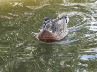 動物,鳥,屋外,湖,水面,泳ぐ,鴨,ガチョウ,水鳥,水の鳥