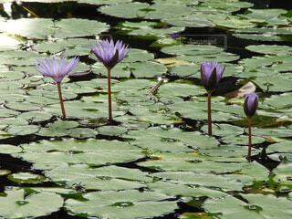 自然,花,水面,ロータス,スイレン,水生植物,ユリ