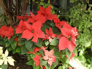 花,秋,屋外,植物,赤,草,ポインセチア,草木,カエデ