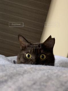 こちらを見つめる猫の写真・画像素材[4213736]