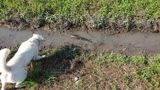 犬,自然,動物,屋外,散歩,水面,草,ナマズ