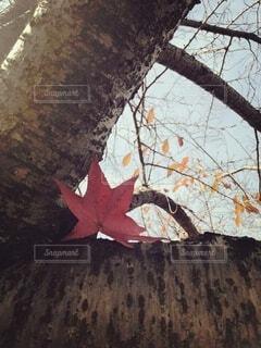 秋,絵画,カエデ