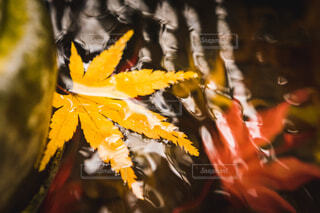 自然,花,秋,紅葉,屋内,赤,黄色,川,葉,もみじ,涼しい