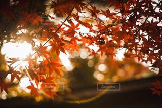 眩しい秋の写真・画像素材[4212232]