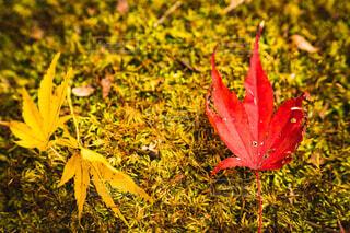 花,秋,屋外,葉,草,草木,カエデ,カエデの葉