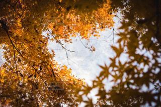 自然,空,秋,屋外,樹木,落葉,草木,カエデ