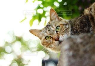 カメラを見つめる猫の写真・画像素材[4212912]