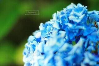 紫陽花のクローズアップの写真・画像素材[4213384]