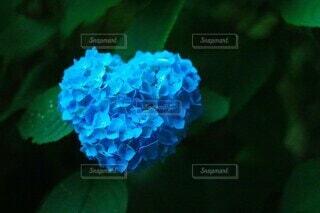 ハートの紫陽花の写真・画像素材[4213385]