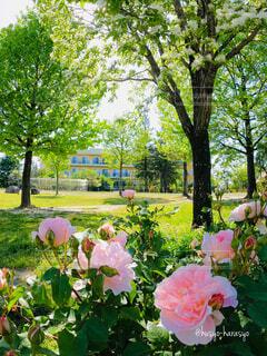 空,公園,建物,花,お弁当,木,芝生,屋外,きれい,綺麗,晴天,ウォーキング,バラ,日差し,子供,木々,草,薔薇,美しい,樹木,ピクニック,遊ぶ,新緑,広場,ランニング,暖かい,憩い,平和,イングリッシュガーデン,バーベキュー,洋風,快晴,遊び場,空気,草木,休息,薔薇の花,咲き誇る,ばら,ガーデン,ぽかぽか,気持ちがいい,日当たり,気晴らし,ピンク色のバラ