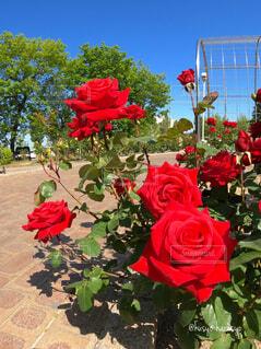 真っ赤で情熱的に咲き誇る赤いバラの写真・画像素材[4389505]