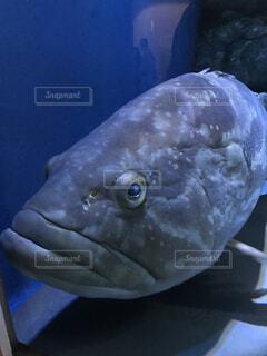 動物,魚,かわいい,水族館,泳ぐ,水槽,海水魚,ブサかわ,たらこくちびる,ブサかわいい