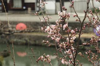 風景,花,桜,傘,枝,花びら,桜の花,えだ