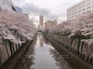 風景,空,建物,花,桜,屋外,湖,水面,樹木,お花見,高層ビル,さくら