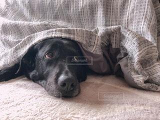 犬,動物,屋内,黒,景色,わんこ,可愛い,愛犬,ラブラドール,ラブラドールレトリバー