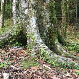 苔に覆われた大木の根の写真・画像素材[4242009]