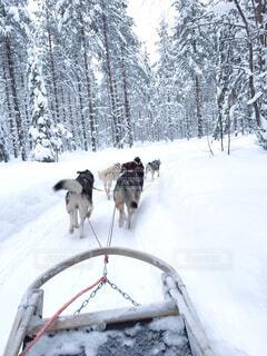 犬ぞり@フィンランドの写真・画像素材[4461812]