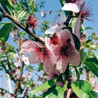自然,花,桜,屋外,樹木