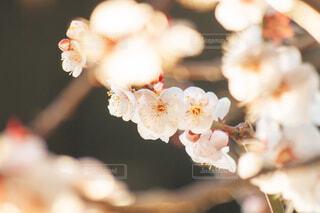 遅咲きの梅の写真・画像素材[4219991]