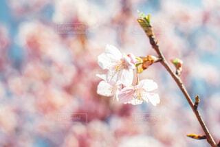 春の訪れと桜の花の写真・画像素材[4291727]