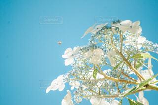 紫陽花と蜜蜂の写真・画像素材[4559619]